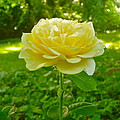 Amy's Texas Yellow Rose by Elena Runkle