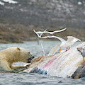 An Adult Polar Bear Ursus Maritimus by Steven J. Kazlowski / GHG