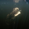 An Alligator Rises Up From The Depths by Chris Ross