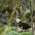 An American Bald Eagle And Chicks by Klaus Nigge