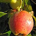 An Apple After Frost by Ausra Huntington nee Paulauskaite