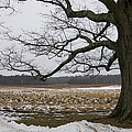 An Appleton Tree And Field In Winter by David Stone