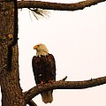 An Eagle Day Dreaming by Jeff Swan