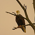 An Eagle In An Old Snag by Jeff Swan