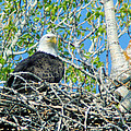 An Eagle In Its Nest  by Jeff Swan
