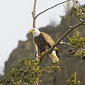 An Eagle In The Spring by Jeff Swan