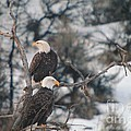 An Eagle Pair  by Jeff Swan