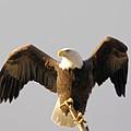 An Eagle Posing  by Jeff Swan