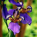 An Eyeful Iris by Kim Pate