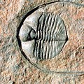 An Internal Fossil Cast Of Trilobite by Sinclair Stammers/science Photo Library