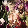 An Iris Surprise Left by Paul Gentille