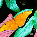 An Orange Butterfly by Jeff Swan