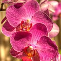 An Orchid by Ines Bolasini