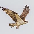 An Osprey by Brian Williamson