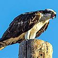 An Osprey Calling by Brian Williamson