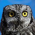An Owl by Ernie Echols