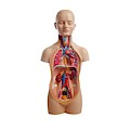 Anatomical Teaching Model by Science Photo Library