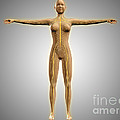 Anatomy Of Female Body With Nervous by Stocktrek Images