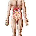 Anatomy Of Human Digestive System, Male by Stocktrek Images