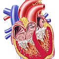 Anatomy Of Human Heart, Cross Section by Leonello Calvetti