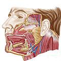 Anatomy Of Human Salivary Glands by Stocktrek Images