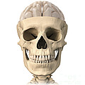 Anatomy Of Human Skull, Cutaway View by Leonello Calvetti