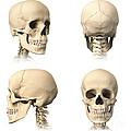 Anatomy Of Human Skull From Different by Leonello Calvetti