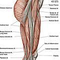 Anatomy Of Human Thigh Muscles by Stocktrek Images