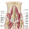 Anatomy Of Iliopsoa, Also Known by Stocktrek Images