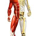 Anatomy Of Male Body With Half Skeleton by Leonello Calvetti