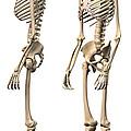 Anatomy Of Male Human Skeleton, Side by Leonello Calvetti