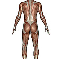 Anatomy Of Male Muscular System, Back by Elena Duvernay