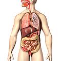 Anatomy Of Male Respiratory by Leonello Calvetti