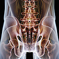 Anatomy Of The Hip Bones by Science Picture Co
