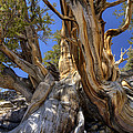 Ancient Bristlecone by Dianne Phelps