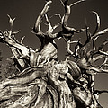 Ancient Bristlecone Pine In Black And White by Dave Welling