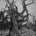 Ancient Bristlecone Pine by Roland Peachie