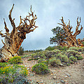 Ancient Bristlecone Pine Trees by Jerome Obille