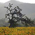 Ancient Oak by Ann Nunziata