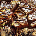 Ancient Wiliwili Tree by Stephen Green