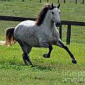 Andalusian At Play by Francine Hall