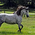 Andalusian Mare Golodrina II by Francine Hall