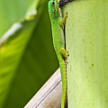 Andaman Day Gecko  India by Konrad Wothe