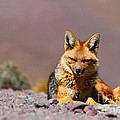 Andean Fox Portrait by James Brunker
