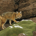 Andean Red Fox Altiplano Bolivia by Pete Oxford