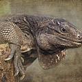 Anegada Ground Iguana - Houston Zoo by TN Fairey