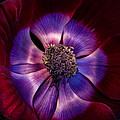 Anemone by Ann Garrett
