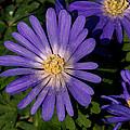 Anemone Blanda Blue by Tikvah's Hope