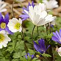 Anemone Blanda by Spikey Mouse Photography