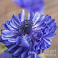 Anemone Blues II by Terry Rowe